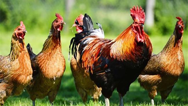 Ăn thịt gà trống hay gà mái tốt hơn?